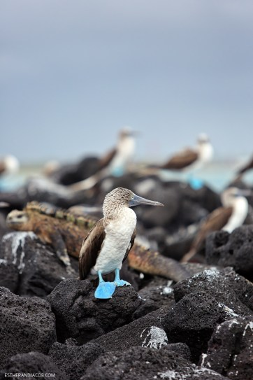 Galapagos Blue Footed Booby birds in the Wetlands Isabela Island.