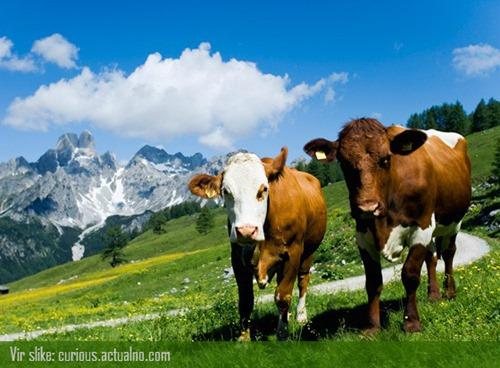 krave - najboljše prijateljice