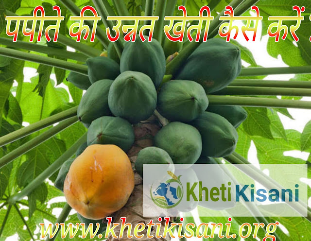 पपीते की खेती कैसे करें,हिंदी में पूरी जानकारी Papaya ki Kheti in hindi