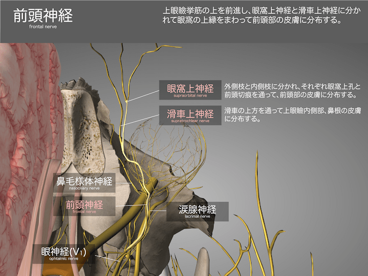 2014-29a03前頭神経2048-1536.png