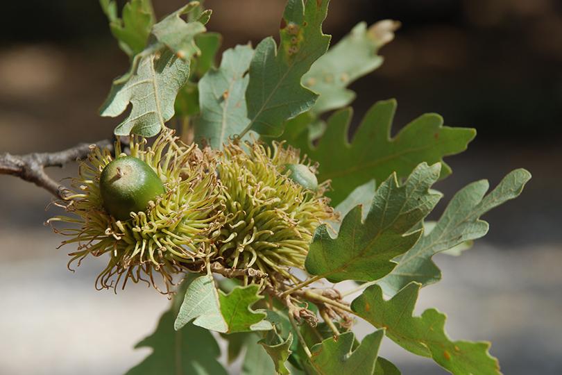 Quercus cerris.jpg