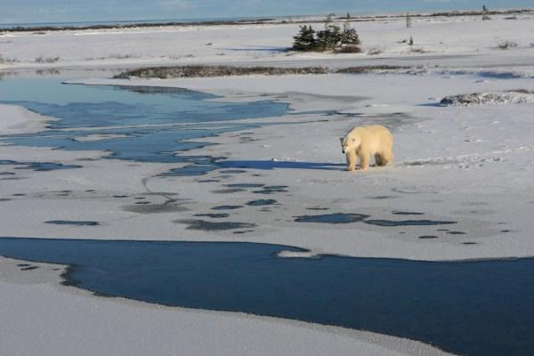 Eisbär auf dünnem Eis