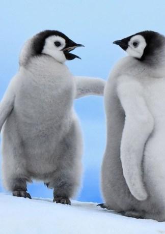 Top hình nền chim cánh cụt ngộ nghĩnh và đáng yêu nhất