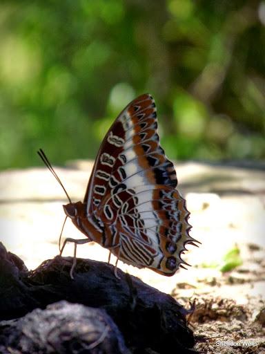 Foxy emperor butterfly