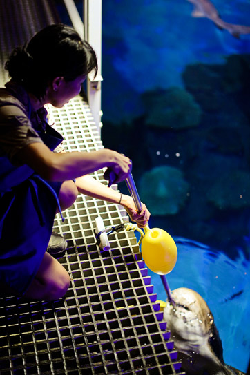 Shark Feeding at the Shark Reef Aquarium at Mandalay Bay.