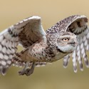 Advanced 2nd - Burrowing Owl in Flight_Martin Patten.jpg