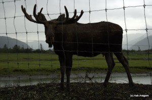 Classic Moose pose except for the barbed wires