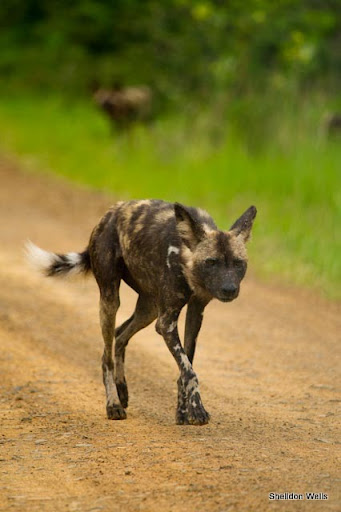 African Wild Dog - Erwin Jackson