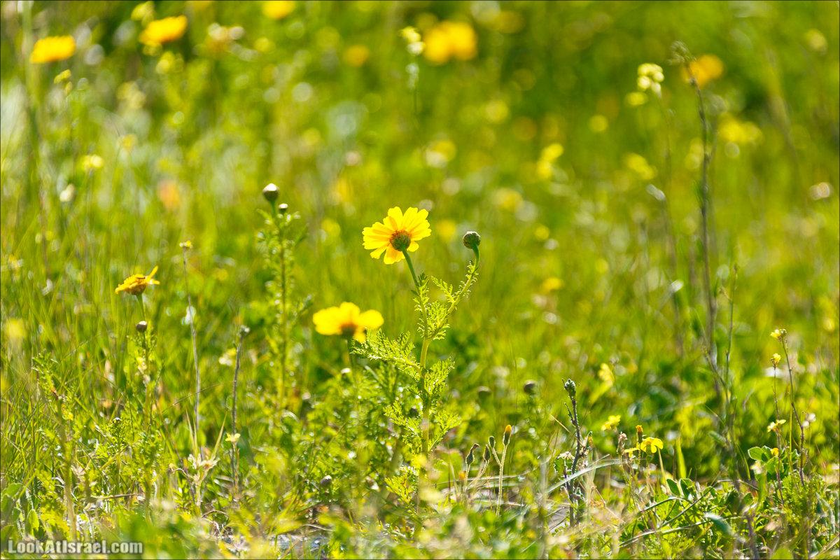 Люпины в Израиле   LookAtIsrael.com - Фото путешествия по Израилю