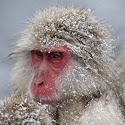 2nd - Snow Monkey relaxing in the snow_Andy Barnes.jpg