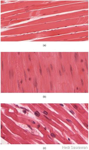 Letak Otot Jantung : letak, jantung, Jaringan, (Artikel, Lengkap), Sasrawan