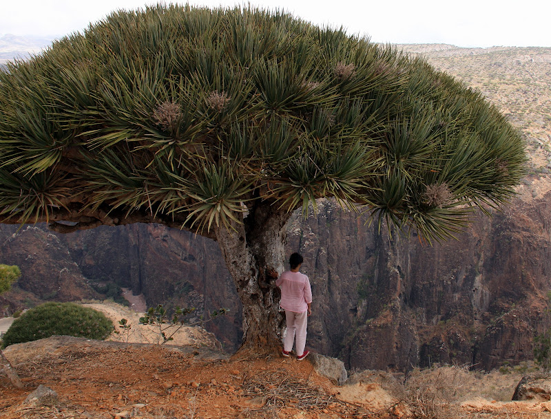 #Travelbloggerindia #Socotraisland #Yementourism #incredibledestinationsonearth #diksamplateau #blooddragontree