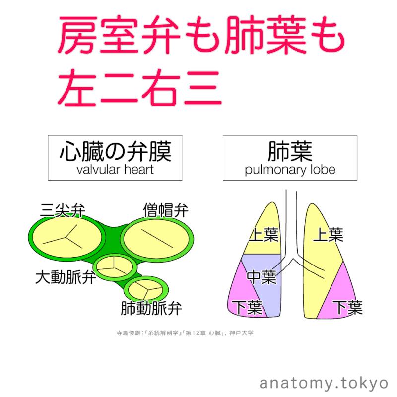 t222-13-房室弁も肺葉も左二右三.png