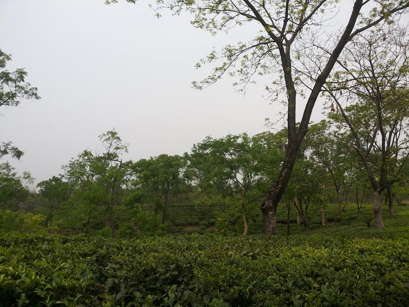silcoorie tea estate