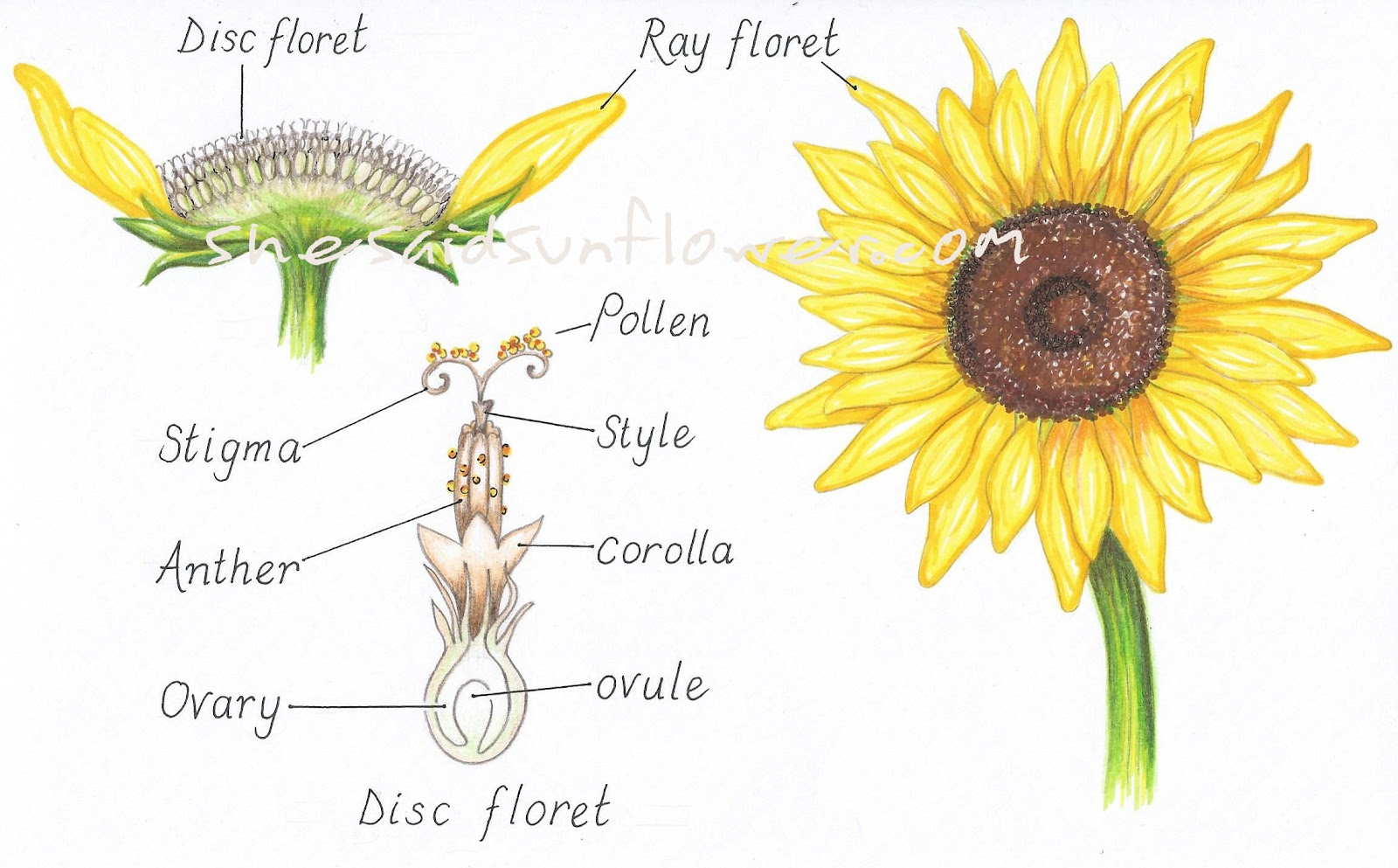 hight resolution of now let s take a closer look at these disc florets and where the process of pollination occurs