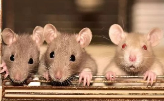 All You Need To Know About Hantavirus That Spooks China