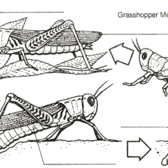 Grasshopper Insect Diagram Sony Cdx Gt35uw Wiring Metamorphosis Complete And Incomplete