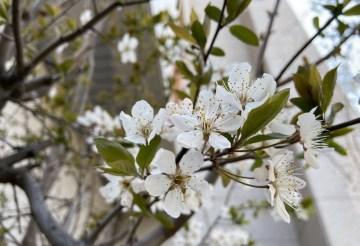 교회 앞 봄 소식