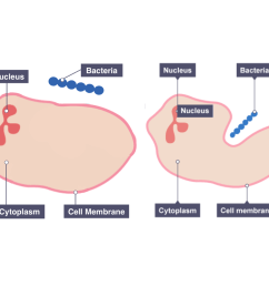 diagram showing the response of phagocytes [ 1172 x 1002 Pixel ]