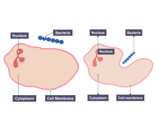 small resolution of diagram showing the response of phagocytes