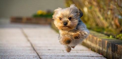 Telecharger Yorkshire Terrier Hd Wallpaper Pour Pc Gratuit