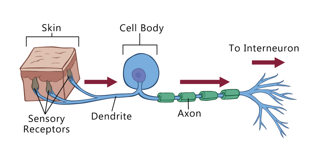 medium resolution of interneurons connect the sensory neurons with the motor neurons