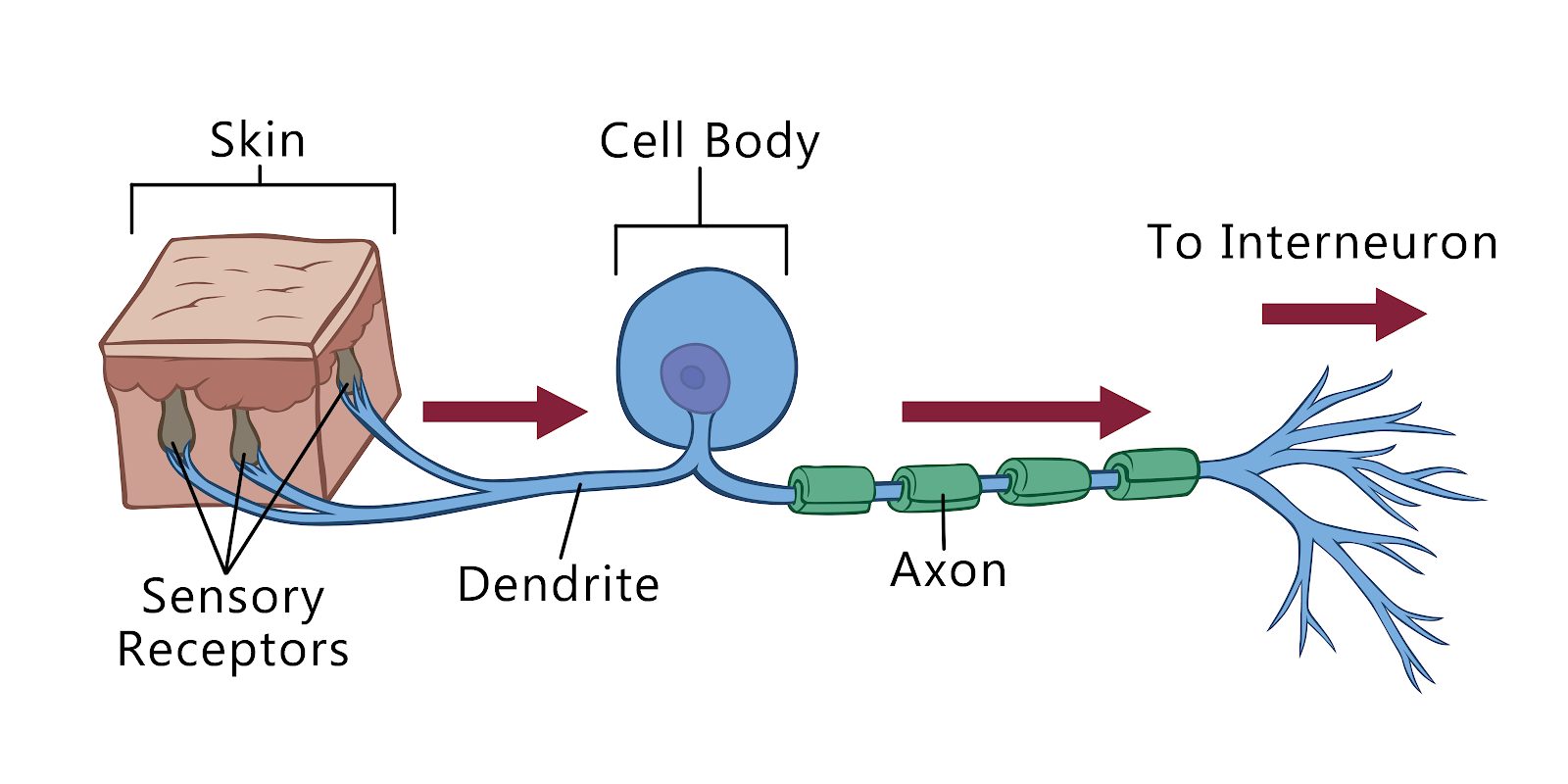 hight resolution of interneurons connect the sensory neurons with the motor neurons