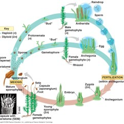 Life Cycle Of Moss Plant Diagram Charlotte Airport Daniel T Bio 20 Blog Plantae
