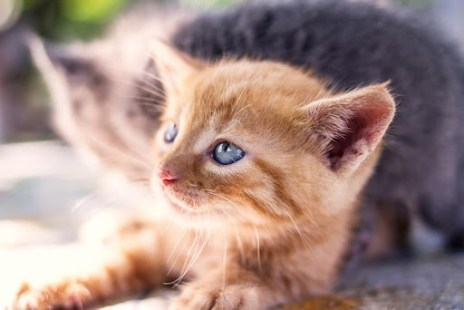 Free Cute Kitten Wallpaper APK