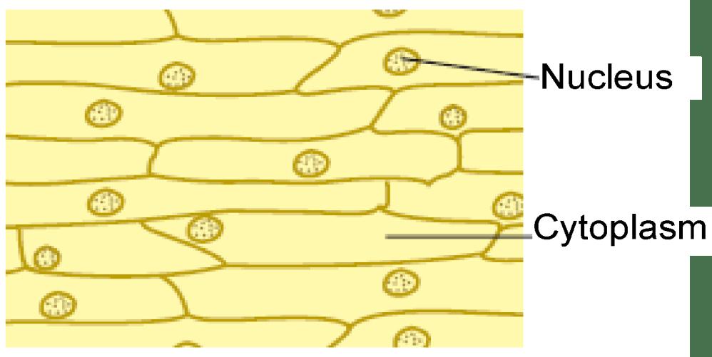 medium resolution of cell diagram onion book diagram schema onion cell diagram label