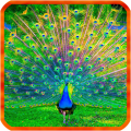 /APK_Peacocks-Live-Wallpapers_PC,44158840.html