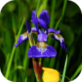 /fr/irisbg-daily-iris-bloom