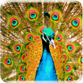 /APK_Peacock-Live-Wallpaper_PC,33341003.html