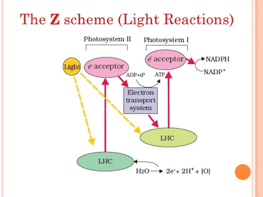photosynthesis z scheme diagram honda motorcycle alarm wiring in plants results the production of atp and nadph biology champ cyclic non photophosphorylation