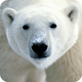 /zh-hans/polar-bear-live-wallpaper-hd