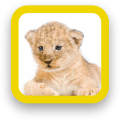 /baby-lion-wallpapers