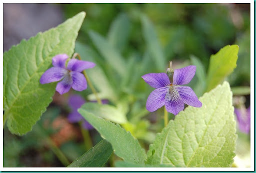 Violets and Leaves
