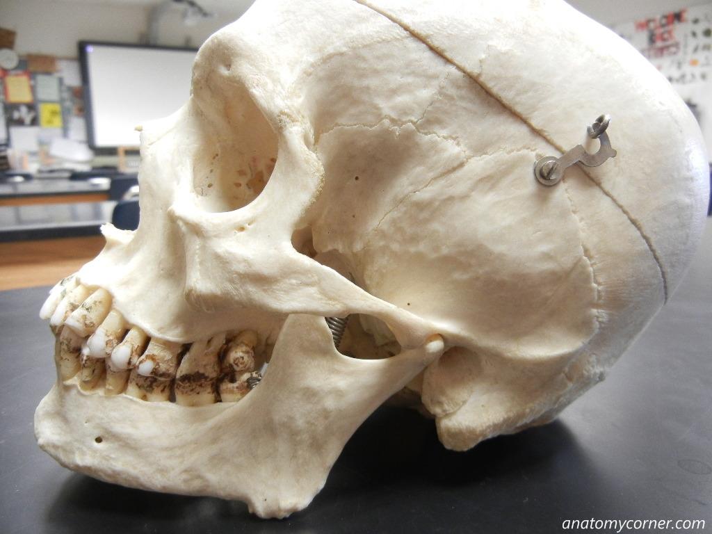 Skull Mandible