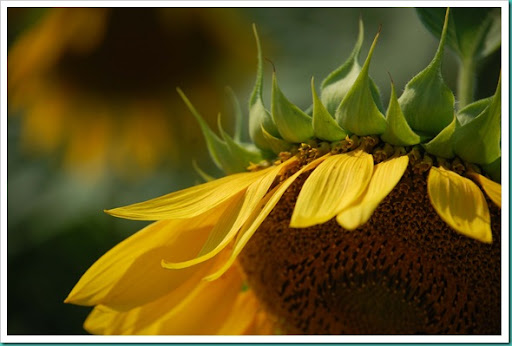 Sunflower Side Face Down