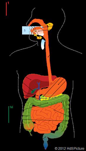 Gambar Usus Halus Dan Bagian Bagiannya : gambar, halus, bagian, bagiannya, Organ, Sistem, Pencernaan, Manusia, (Artikel, Ringkasan), Sasrawan