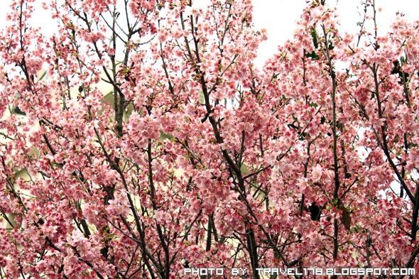 【2012臺中賞櫻花景點】新社櫻花祭櫻木花道~粉嫩嫩的粉紅佳人 - 旅行一起吧 ! Travel 178