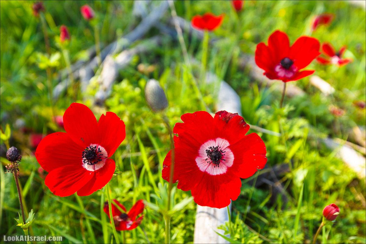 Анемоны (каланиет) пустыни Негев - Фестиваль Даром Адом в LookAtIsrael.com - Фото путешествия по Израилю   Red South festival of anemones in Negev   דרום אדום - קלניות בבארי