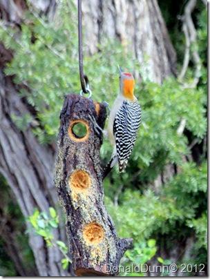 Golden-fronted woodpecker, Bentsen RGV State Park