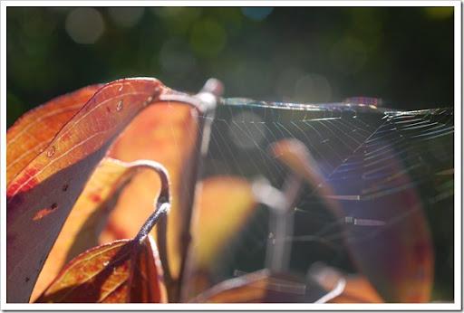 spiderweb dogwood