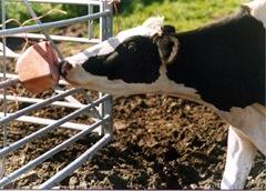daliem2  - daliem2 thumb 25255B2 25255D - Đá liếm bổ sung khoáng cho bò sữa đơn giả, hiệu quả và bền vững
