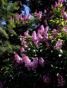 huge lilac bush by the old shed