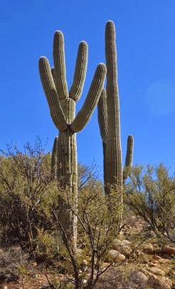 saguaros are like icebergs, you just keep wanting to take photos of them