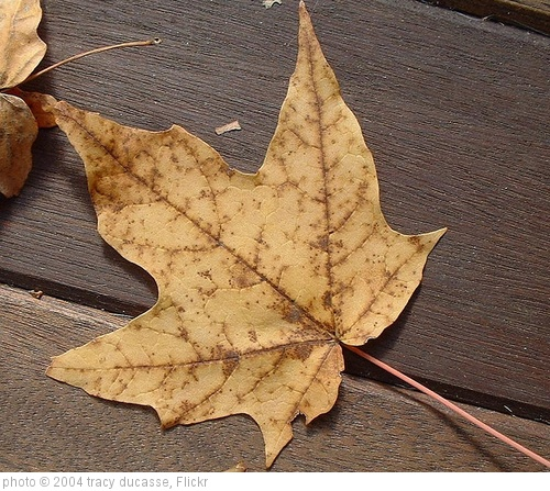 'autumn leaf' photo (c) 2004, tracy ducasse - license: http://creativecommons.org/licenses/by/2.0/
