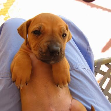 Rhodesian Ridgeback Puppy Socialization 9