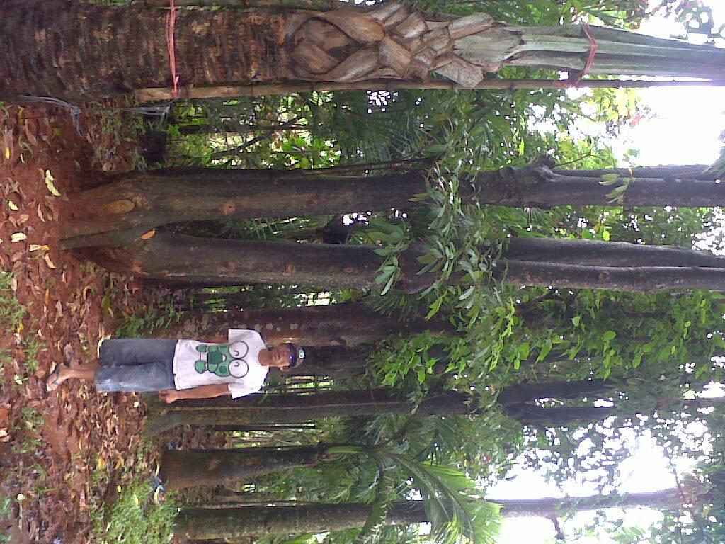 Tukang Taman Murah  pule batang besar  tukang taman
